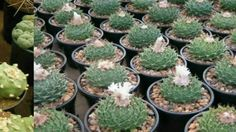 Obregonia, the artichoke cactus, is a genus of cacti with a single species, Obregonia denegrii. The genus Obregonia is named after Álvaro Obregón,while the s. Cactus Seeds, Succulent Seeds, Succulent Care, Small Cactus, Cactus Flower, Growing Succulents, Cacti And Succulents, Echeveria, Artichoke Plants