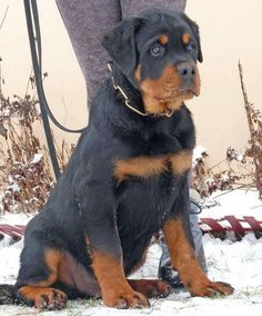 Rottie pup certainly doesn't need that chain around his/her neck. :'(