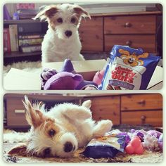 Ginny got an amazing box of presents from our friend @lucy_snickers yesterday! Lots and lots of toys, some doggy shoes and treats. Of course as you can see in the top photo, the first thing Ginny saw (and wouldn't stop staring at) was the bacon treats. The bottom picture is Ginny recovering after a heavy dose of bacon and playing with her new toys. Thank you @lucy_snickers, this is amazing!  - @ginny_jrt- #webstagram