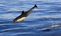 Common dolphin by Michael Peak