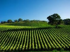 Growing Grapes in Australia