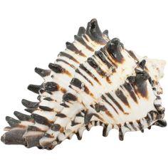 Black Murex Seashell