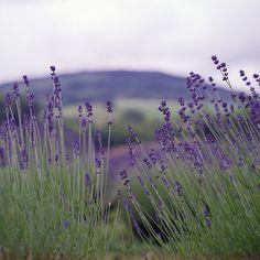 Free Image on Pixabay - Lavender, Nature, Summer, Flower                                                                                                                                                                                 More