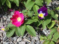 Takalo-Roppolan puutarha- ja mansikkatila: RUUSUT