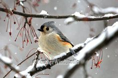 Tufted Titmouse Photo  Bird Photography  Gray by FeatherWindStudio