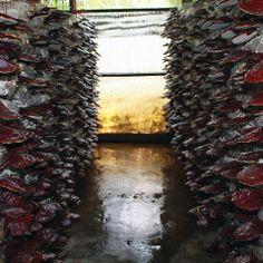 Spore Separation Cultivation Method:  DXN's unique way of producing the best quality Ganoderma http://www.dxncoffeemagic.com/ganoderma