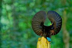 Paradise Riflebird (Ptiloris paradiseus) # щитоносная райская птица