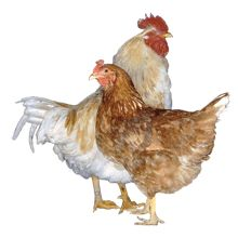 Golden Sex-Link - docile, & quiet, 5-6 lbs. cold tolerant, lay 5 or more extra large brown eggs a week.