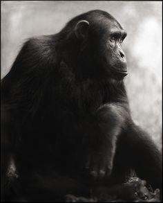 Nick Brandt CHIMPANZEE POSING, MAHALE, 2003