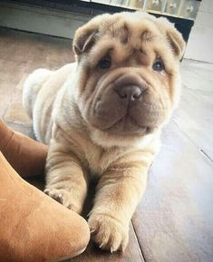 Shar Pei Puppies, French Bulldog Puppies, Cute Puppies, Cute Dogs, Dogs And Puppies, Doggies, Baby Animals Pictures, Puppy Pictures, Bluetick Coonhound