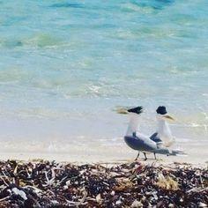 Birds at rotto  #rottnestisland #rottnest #island #wa #westaustralia #indianocean #australia #perth #ocean #sea #beautiful #beach #reef #tbt #perfect #sunshine #picoftheday #photooftheday by petebull13 http://ift.tt/1L5GqLp