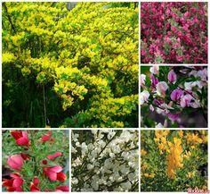 Растения для живых изгородей: знакомые «незнакомцы» (Часть 1)