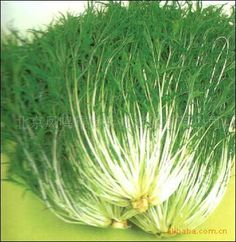 Japan Brassica - Crystal Seed - Thousand Tendons Seed 50 Seeds #Affiliate