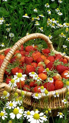 Strawberry Fields Forever 🎶 The Beatles Strawberry Fields Forever, Cuisine Diverse, Strawberry Patch, Strawberry Picking, Strawberry Farm, Down On The Farm, Garden Fencing, Simple Pleasures, Fruits And Veggies