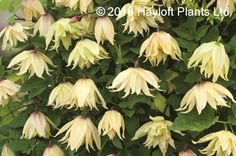 Chelsea Flower Show Plant of the Year 2016 - Clematis Koreana Amber Unusual Plants, Chelsea Flower Show, Year 2016, Clematis, Fungi, Fingers, Garden Ideas, Amber, Green
