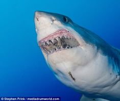 Florida diver Stephen Frink may have found the world's largest great white shark | Daily Mail Online
