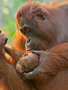 Orangutan Mother and Newborn