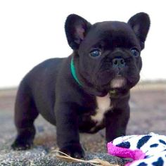 Oprah, the French Bulldog Puppy ❤ #buldog