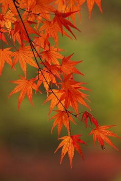 photo: Japanese maple in Fall colors ~~ 紅葉 (momiji) ~~ Flor Tattoo, Autumn Scenes, Beautiful Flowers Garden, Maple Tree, Tree Photography, Fall Pictures, Tree Leaves, Belle Photo, Autumn Leaves