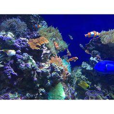 【azuuuuuuuuuu_】さんのInstagramをピンしています。 《・ ・ ニモだ、ドリーだ ・ ・ ・ #シンガポール #シンガポール旅行 #旅行 #アクアリウム #水族館 #セントーサ島 #クマノミ #魚 #Singapore #trip #travel #aquarium #seaaquarium #sentosa #sentosaisland #fish》