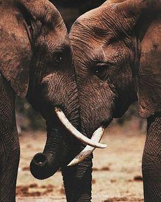 Dizem que o elefante nunca morre sozinho. Uma manada de elefante é composta de machos e fêmeas e quem comanda a manada é a fêmea mais velha. Os machos ficam com a manada até os cinco anos depois eles saem junto com dois ou três elefantes, mas nunca sozinhos, e voltam só para acasalar. Quando um elefante fica doente e cai, os outros elefantes o ajudam a se levantar. Levam-no para beber água, caminhar e se alimentar. Se ele melhorar, segue a vida,mas, se não melhorar ele nunca ficará sozinho…