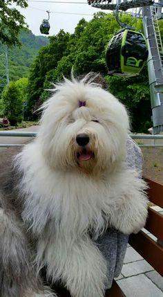 Oes. Sweet Old English Sheepdog.