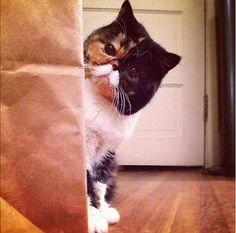 moustache cat