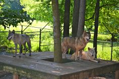 """Thunder, Apollo, & Lightning hanging out on their deck. Even though they are all """"grey"""" wolves, the coat coloration varies greatly in this species, from nearly solid white (Lightning) to a blueish grey (Thunder) to the more typical brownish/black coloration of Apollo (who is actually a wolf hybrid).  #Thunder #Lightning #Apollo #Wolves #NoahsArk  www.noahs-ark.org"""