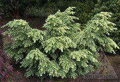 Tsuga mertensiana 'Elizabeth'  - a beautiful low-growing, spreading Mountain Hemlock.