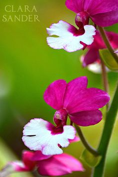 Calanthe Hybrid Eric Young Orchid Foundation - picture Clara Sander
