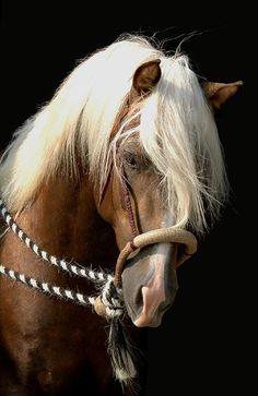 morgan horse.