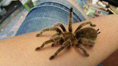 My second tarantula, Rosie