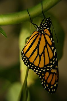 """See the beauty of the #Monarch #Butterfly magnified in #OMNIMAX! """"Flight of the Butterflies"""" is an enchanting story of discovery and endurance! There are only a few days left for you to witness this incredible spectacle! Get your tickets before showings end June 30th! http://www.cincymuseum.org/omnimax/flight-of-the-butterflies"""
