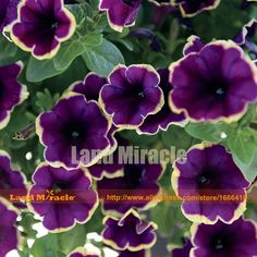 Amazing Flowers 'Moonlight Bay' Petunia Seeds, 100 Seeds/Pack, Gorgeous blooms Easy Care Plants-Land Miracle