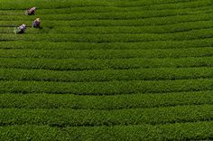 morning pick - Tea being picked early in the morning, Alishan mountains, Taiwan.