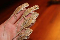 Kelowna Bearded Dragons, Baby Bearded Dragons for Sale & how to care for a Bearded Dragon. Bearded Dragon, Dragons, Cute, Baby, Animals, Animales, Animaux, Kawaii, Animal
