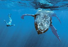 snorkel with whales in Tonga.  On the bucket list.  Wanted to do this when we were in Tonga but didn't have enough time to go north