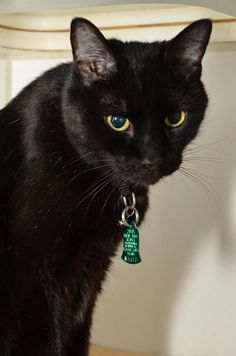 Meet Faust, a Petfinder adoptable Domestic Short Hair-black Cat Boy Cat, Young Boys, New Friends, Panther, Black Hair, Short Hair Styles, Meet, Cats, Animals