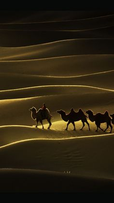 Camels crossing a beautiful desert Landscape! Gobi Desert in Mongolia.