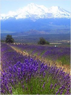 Landscape of Lavender It's a beautiful landscape flowing with the aroma of lavender. #levelsofbeauty