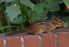 Chipmunk Control: Eliminating Chipmunks From Your Garden...  Getting rid of chipmunks in your garden is similar to getting rid of squirrels. Chipmunk control requires just a little knowledge. Read this article to discover effective ways to rid chipmunks from your garden.