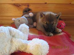Shiba Inu Kenzo Klein, aber verdammt süß ♥ Und ganz müde von Spielen… #Hundename: Kenzo / Rasse: #Shiba Inu      Mehr Fotos: https://magazin.dogs-2-love.com/foto/shiba-inu-kenzo-3/ Foto, Hund, Liebe