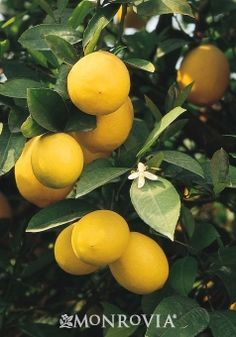The fruit from a Meyer lemon tree is yellow and more rounded than other lemons. They are usually more sweet and less acidic than other lemons also. Lemon Jelly Recipe, Jelly Recipes, Citrus Recipes, Citrus Trees, Fruit Trees, Citrus Fruits, Meyer Lemon Tree, Monrovia Plants, Plant Catalogs