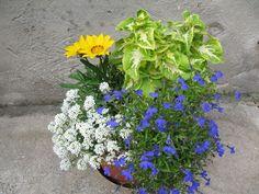 Június_089 Balcony Garden, Petunias, Container Gardening, Bonsai, Flowers, Garden, Plant, Balcony Gardening, Container Garden