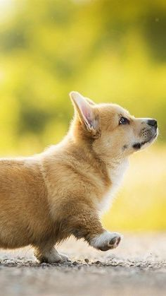 Mesmerizing Training Your Dog Proven, Useful Hints And Tips Ideas. Remarkable Training Your Dog Proven, Useful Hints And Tips Ideas. Cute Baby Animals, Animals And Pets, Funny Animals, Cute Corgi, Cute Puppies, Korgi Puppies, Welsh Corgi Puppies, Pembroke Welsh Corgi, Chesire Cat