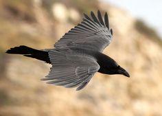 Raven in Flight by Folkeye.deviantart.com on @deviantART