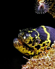 Chain Moray Eel by Betty Wills (license: Creative Commons 4.0)