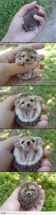 A baby hedgehog :) :) ommmgg !