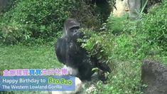 金剛猩猩寶寶30歲生日快樂 Happy 30th Birthday To Western Lowland Gorilla BaoBao