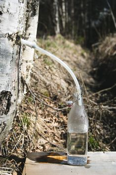 Birch sap: properties, how to extract and use it